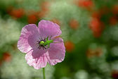 Flower with beetle — Stock Photo