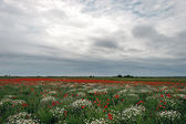 Landscape with poppies and chamomile-9 — Stock Photo