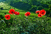 Landscape with poppies-1 — Stock Photo