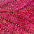 Stock Photo: Red autumn leaf texture
