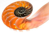 Nautilus shell isolated 4 — Stock Photo