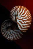 Nautilus shell 1 — Stock Photo