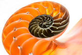 Nautilus shell isolated 2 — Photo