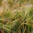 Background with wheat 3 — Stock Photo #47296479