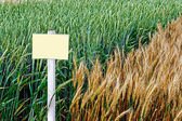 Fertile wheat and barley 2 — Stock Photo