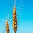 Background with wheat ears 3 — Stock Photo #47729307
