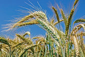 Background with wheat 9 — Stock Photo