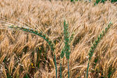 Background with wheat 11 — Stock Photo