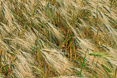 Background with wheat 8 — Stock Photo