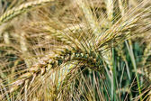Background with wheat 12 — Stock Photo