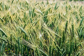 Background with wheat ears 2 — Stock Photo