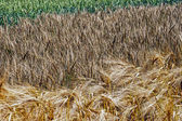 Different varieties of wheat — Stock Photo