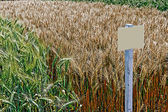 Fertile wheat and barley 3 — Stock Photo
