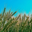 Background with spikes of oats 3 — Stock Photo #49642553