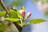 Spring apple blossom — Stock Photo