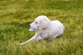 White shepherd on a green medow — Stock Photo