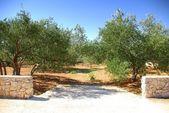 Olive grove trees, Croatia Dalmatia — Stock Photo