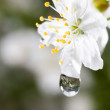 Macro water drops on cherry blossom — Stock Photo