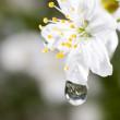 Macro water drops on cherry blossom — Stock Photo