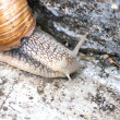 Macro roman snail, helix pomatia — Stock Photo