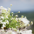 Maco blooming flowers on rock — Stock Photo