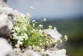 Maco blooming flowers on rock — Stock Photo