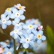 Macro of forget-me-nots flower close up — Stock Photo