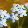 Closeup forget-me-nots flower. Macro of blue flower — Stock Photo