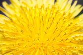 Macro of abstract yellow flower, closeup sow-thistle — Stock Photo