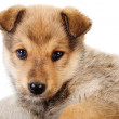 Mixed breed puppy close-up. — Stock Photo