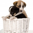 Puppies sitting in wicker basket. — Stock fotografie