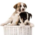 Puppies sitting in wicker basket. — Stock Photo