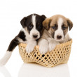 Puppies in a basket. — Stock Photo #12329761