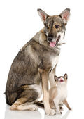 Mixed-breed dog and siamese cat. — Stock Photo