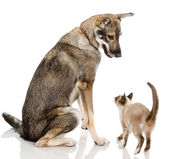 Dog and siamese kitten — Stock Photo