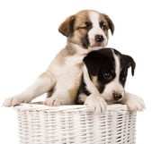 Puppies sitting in wicker basket. — Stock Photo