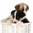 Puppies in wicker basket — Stock Photo
