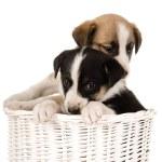 Puppies in wicker basket — Stock Photo