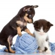 Toy Terrier and kitten. — Stock Photo #13834379