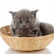 Four little british kittens cat sitting in basket. isolated on white background — Stock Photo