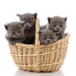 Stock Photo: Four little british kittens cat sitting in basket. isolated on white background