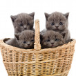 Four little british kittens cat sitting in basket. isolated on white background — Stock Photo #13835283