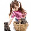 Little girl playing with british kittens. isolated on white background — Stock Photo