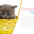 Little british cat in basket. isolated on white background with sample text — Stock Photo #13835472