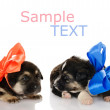 Stock Photo: Puppy love. Two puppies dogs. isolated on white background