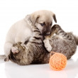 The cat plays with a dog. isolated on white background — Stock Photo