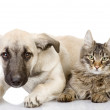 The dog and cat lie nearby. isolated on white background — Stock Photo