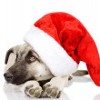 Christmas dog as santa. isolated on white background — Stock Photo