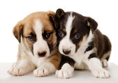 Cute Puppies Lie Together — Stock Photo