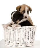 Puppies in a basket. — Stock Photo